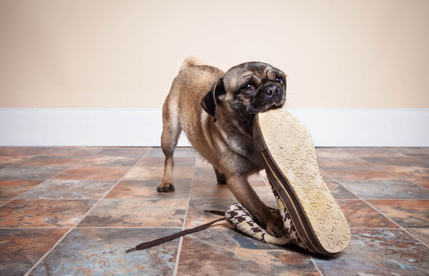 naughty Pug eating shoe on tiled floor