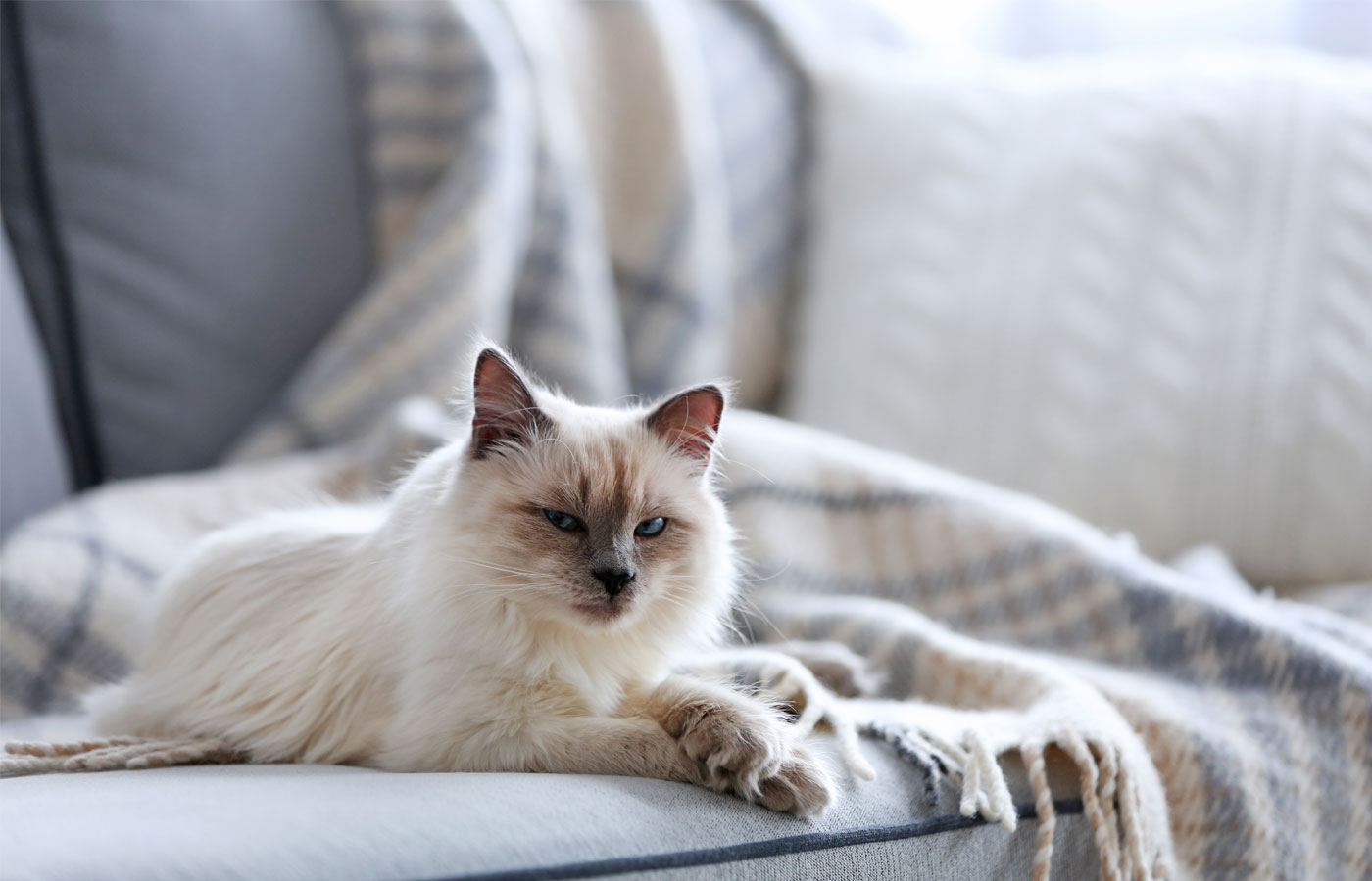 Color-point cat lying on a sofa in living room