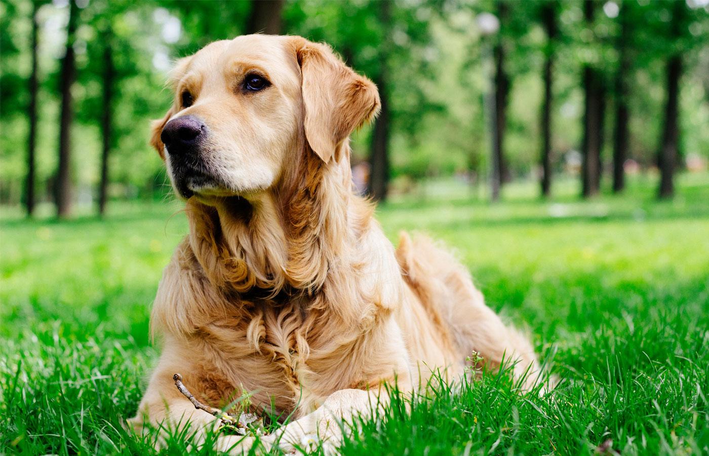 Golden Retriever listening